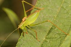 "Speckled Bush Cricket (Leptophyes pun(1) • <a style=""font-size:0.8em;"" href=""http://www.flickr.com/photos/57024565@N00/1349281901/"" target=""_blank"">View on Flickr</a>"