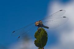 Dragonfly eating (1) (Maciej - landscape.lu) Tags: blue sky macro insect minolta dragonfly sigma dynax makro d7d 105mm sigma105mm clubfotoeu httpwwwclubfotoeu liebellule 2007macromakrolibellulewazkasigma105mmminoltad7dclubfot