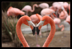 Flamingo Heart (Matthew.Craig.Smith) Tags: california pink bird love nature beautiful wow zoo san pretty heart sandiego awesome flamingo feather valentine valentines sandiegozoo coolest soe greatphotographers animalkingdomelite anawesomeshot
