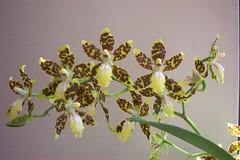 Onc. maculatum 'Paolo' AM/AOS (dwittkower) Tags: orchid flower flora orchids orchidaceae species oncidium orquideas orchidée orqudea