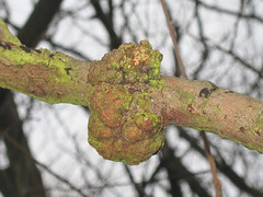 Crown Gall (?) on Purple Willow : 0985a (mausboam) Tags: attenborough anr salix vc56 salixpurpurea plantgall agrobactertumifaciens