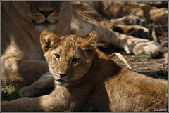 Lion Cub (eraut) Tags: columbuszoo cute zoo cub lion lioncub carnivore africanlion pantheraleo kingofthejungle eos400d canondigitalrebelxti geotaggedohio ohiozoos sigma150500mmf563 zoosofnrthamerica