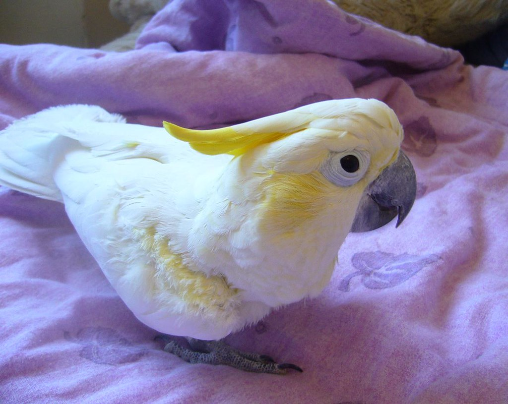 snabb fakta om papegojan papegojor burf229glar ifokus