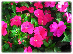 Impatiens walleriana (Touch-me-not, Jewel Weed, Sultana, Busy Lizzy/Lizzie), with hot pink blooms