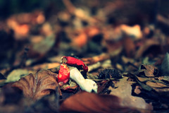 redhead (donchris!) Tags: autumn macro fall mushroom up automne mushrooms focus dof close bokeh herbst otoo funghi  pilze autunno unscharf nahaufnahme grzyby pilz hongos champignons setas jesie  unschrfe grzyb    jesieni