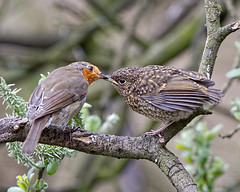Tender moment (Andrew Haynes Wildlife Images ( away for a while )) Tags: bird nature robin wildlife norfolk fakenham sculthorpemoor canon7d ajh2008