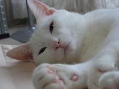 cat milk whitecat