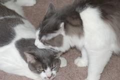Cats at play (Rebecca Ryan1) Tags: cats animals felines