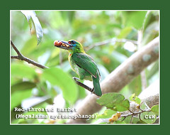 Red-throated Barbet8