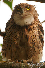 Brown fish owl (dickysingh) Tags: wild india bird nature outdoor wildlife aditya owl ranthambore singh ranthambhore dicky tigerreserve brownfishowl avianexcellence ranthambhorebagh bigowl adityasingh dickysingh ranthamborebagh theranthambhorebagh