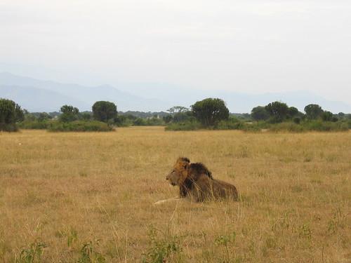 Uganda - QENP Male Lion Dozing