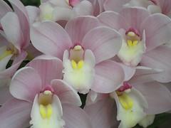 Cymbidium Orchids (sweetgoddess71) Tags: pink orchid flower philadelphia pennsylvania arboretum longwoodgardens cymbidium chestercounty