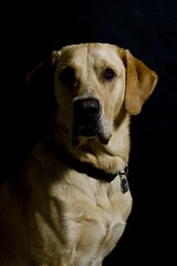 Biggie (EOM - Oscar Lopez) Tags: raw d70s remote 5bestdogs softbox lightroom sb800 gundogsfundogspotd