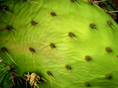 prickly pear (ybonesy) Tags: cactus newmexico corrales pricklypearcactus albuquerquewomensflickrmeet