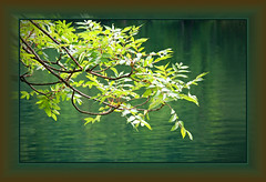 Branches and leaves (rotraud_71) Tags: water leaves reflections germany bavaria branches ash soe esche thumsee fraxinusexcelsior supershot berchtesgadenerland beautifulcapture supershots shieldofexcellence impressedbeauty