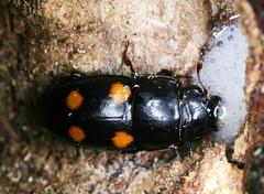 Sap Beetle (cotinis) Tags: insect beetle northcarolina fieldtrip piedmont coleoptera sapfeedingbeetle nitidulidae glischrochilus dnhs20070818 glischrochilusobtusus