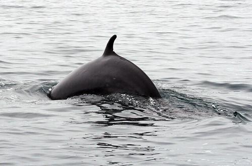 Minke whale, Husavik