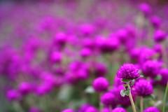 ladys & jentlemen!! (*setsuna) Tags: flower macro nature canon purple little violet sigma naturesfinest