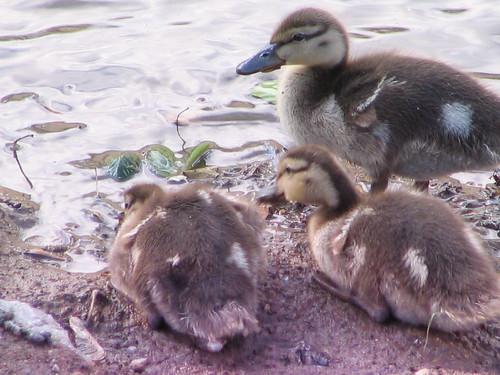 Adolescent Ducklings