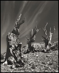 three tenors (stormiticus) Tags: california blackandwhite bw tree film whitemountains 4x5 fp4 largeformat bristlecone 135mm rodenstock canham pyrocathd autaut