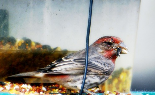 Red Finch - 13/52