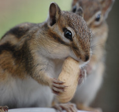 You Sharing That Nut?....... (Wire_cat) Tags: pet animal rodent chipmunk peanut nut supershot bej anawesomeshot wirecat
