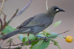 White-gaped Honeyeater (SillyOldBugger (in and out of internet range)) Tags: iso3200 australian australia queensland honeyeater whitegapedhoneyeater lichenostomusunicolor avianexcellence lawnhillnationalpark minolta3004hsg sonya55 sonyalpha55 sonydslta55 boodjamullanationalpark wildbirdaustralia