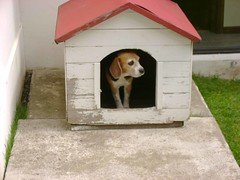 Tica en su casa / Tica at her puppy house (Monshinita) Tags: dog beagle perro tica