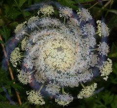 Daucus galactica (gripspix (OFF)) Tags: structure galaxy carrot daucuscarota inflorescence helical