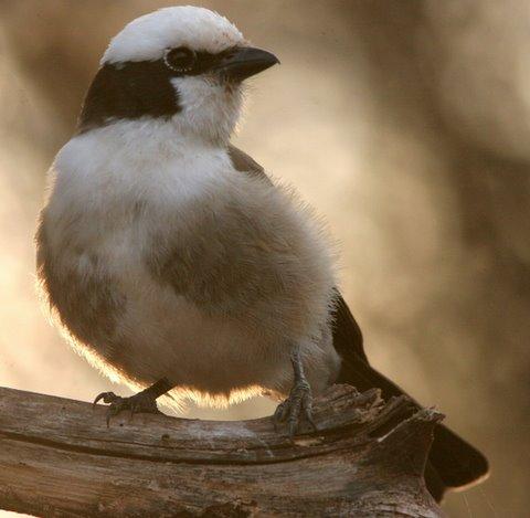 long-tailed fiscal shrike