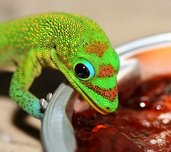 Guava Jelly Gecko (catbutler) Tags: gecko soe interestingness166 madagascardaygecko mywinners flickrslegend