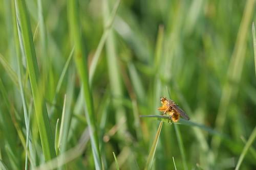 Scatophaga stercoraria (mouche à merde)