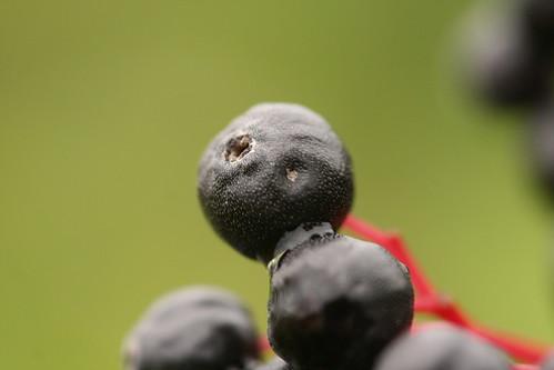 Black Coloured Berry Close Up