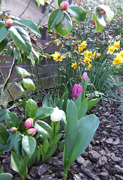 The tulips and daffodils co-habiting in our garden