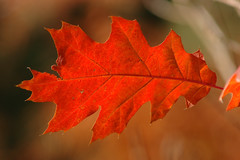 Autumn is here (Rafal Bergman) Tags: autumn fall leaf poland polska jesien zlota top20red