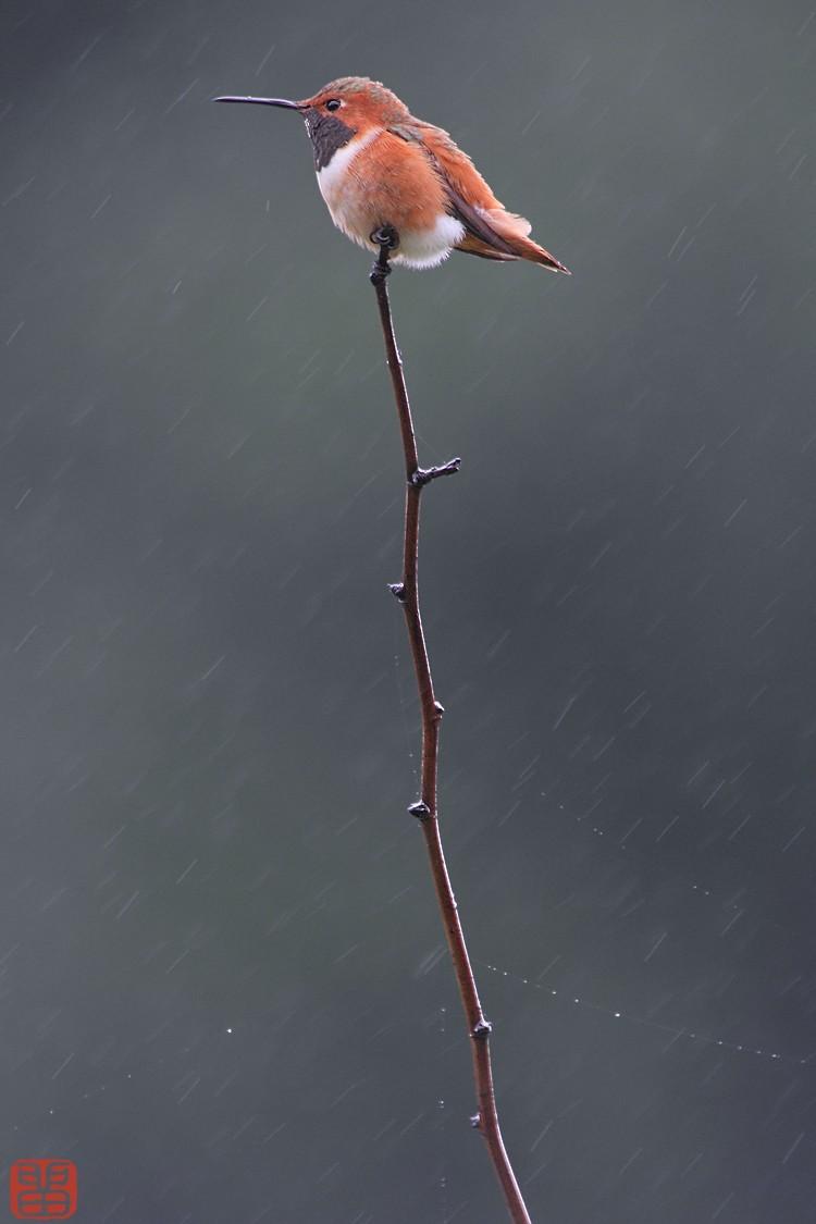 Allen's Hummingbird 102010