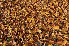 Pöögilehevaip päiksekullas (anuwintschalek) Tags: autumn mountain berg landscape austria evening abend october herbst autumncolours valley niederösterreich org 2010 annaberg sügis herbstfarben õhtu 18200vr mägi nikond90 sügisvärvid lehevaip