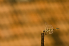 A speck of fly......