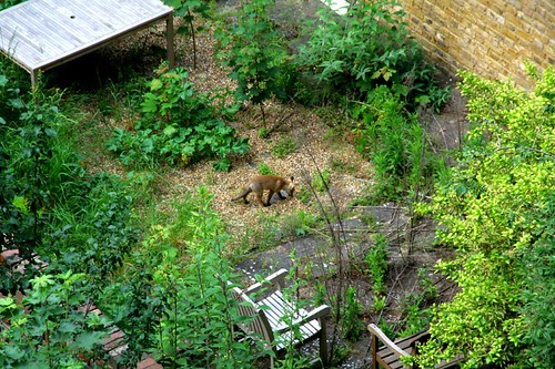 2007-05-26-001 London Shepherds Bush Urban foxes - a photo on ...