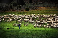 shepherd and flock (jody9) Tags: shepherd sierranevada flockofsheep utata:project=upfaves
