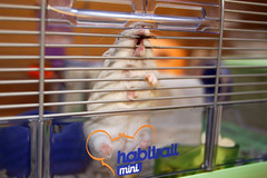 Cookie the chew queen (jade_c) Tags: pet animal mammal rodent singapore cookie pudding hamster winterwhite 仓鼠 dwarfhamster 倉鼠