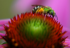 Green Bee (Gigapic) Tags: usa flower macro oregon nikon unitedstates bee naturesfinest interestingness84 d80 naturesgallery mywinners superaplus aplusphoto diamondclassphotographer superhearts photofaceoffwinner pfogold