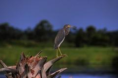 Heron (Karnevil) Tags: usa bird heron nature animal florida melbourne wetlands flickrsbest