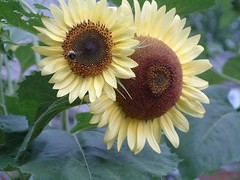 yeah... I'd pick the smaller sunflower too. That other one is a little too intimidating... (DetroitDerek Photography ( ALL RIGHTS RESERVED )) Tags: light summer favorite sun plant flower green art nature beauty yellow closeup garden insect big cool backyard soft afternoon fuji close view image good michigan postcard detroit scenic large seed bee sunflower huge warren highfive mutant maize centerline damncool intimidate 586 amatuers amatuershighfive