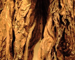 tobacco leaves - by circulating