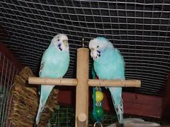Ski and Sapphire (Chris....) Tags: bird budgie eneerc
