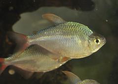 Tetra??? - Columbian Tetra - Hyphessobrycon columbianus (Britta's photo world) Tags: fish glitter rainbow tetra britta 60mmf28dmicro niermeyer hyphessobryconcolumbianus