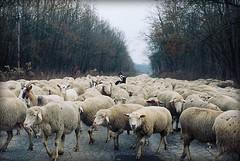 azért vannak itt még távlatok! (.e.e.e.) Tags: film animals analog 50mm hungary sheep kodak olympus scan mf analogue om manualfocus filmscan olympusom baranya supershot abigfave zuiko5018 diamondclassphotographer