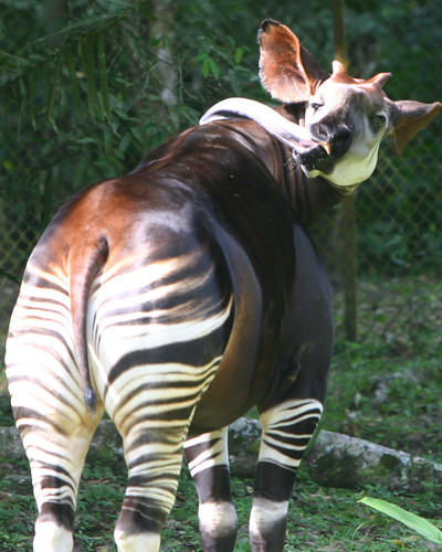 okapi  facts