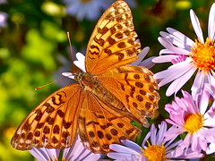 A butterfly in autumn (Glockenblume) Tags: flowers autumn macro fall nature butterfly october ngc kaisermantel nymphalidae argynnispaphia natureselegantshots macromagister
